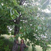Cerezo con el fruto verde